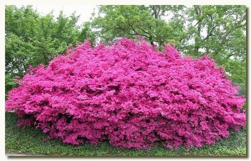 Куст рододендрона цветущий